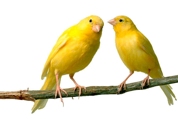 How long do canaries live?