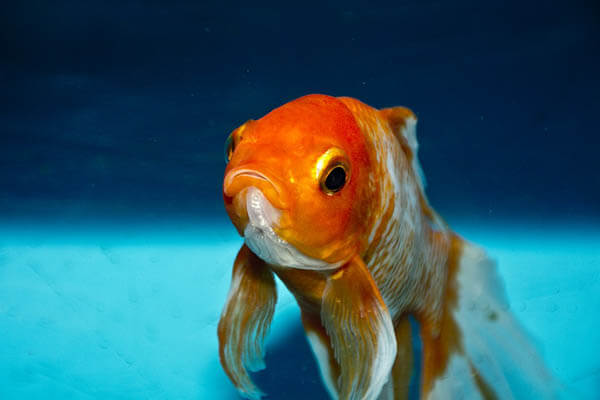 How long do goldfish live how long do animals live for What fish can live with goldfish