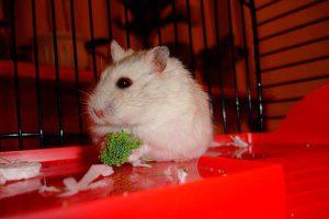 Hamsters life span