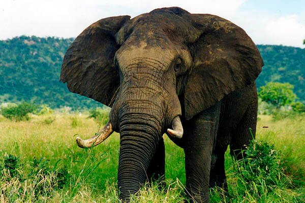 How long do elephants live?