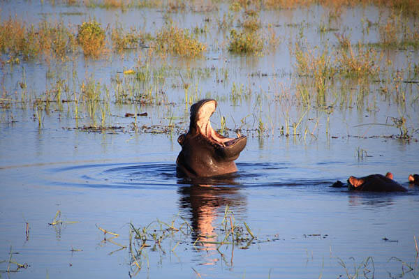 Hippopotamuses life span