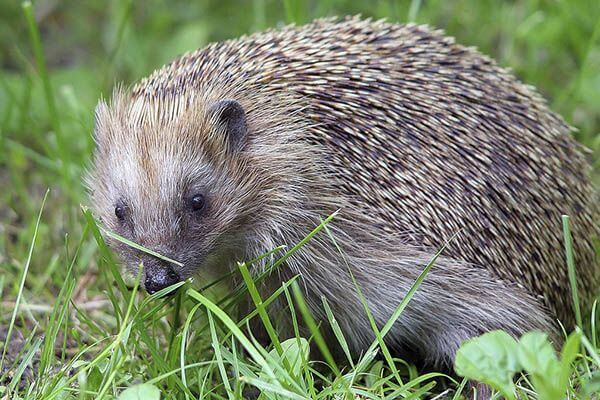 How long do hedgehogs live?