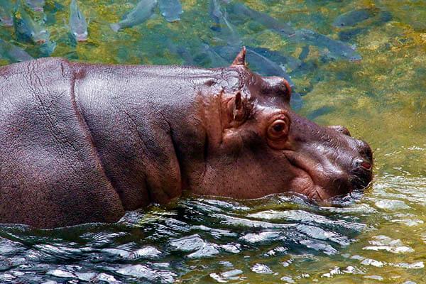 How long do hippopotamuses live?