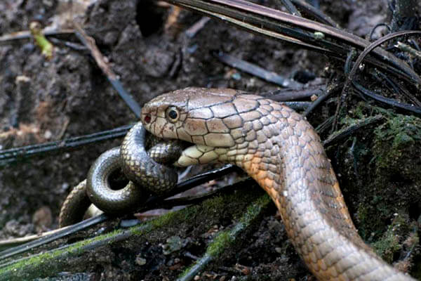 King cobra lifespan