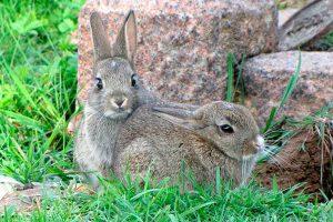 Rabbits lifespan