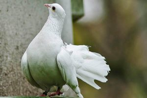 Pigeons lifespan