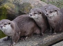 How long do otters live?