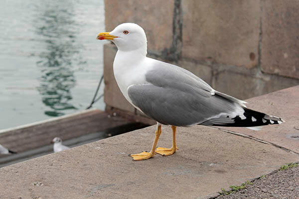 How long do seagulls live?