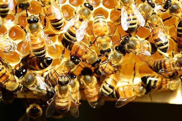 Bees lifespan