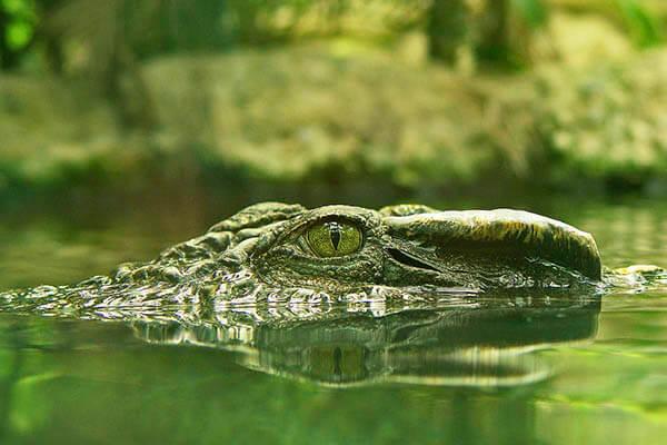 Crocodiles lifespan