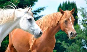 Horses lifespan
