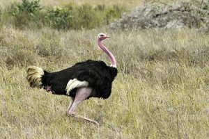 How long do ostriches live?
