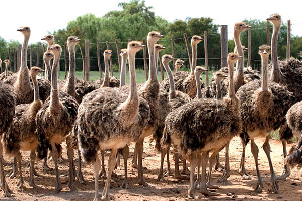 Ostriches lifespan