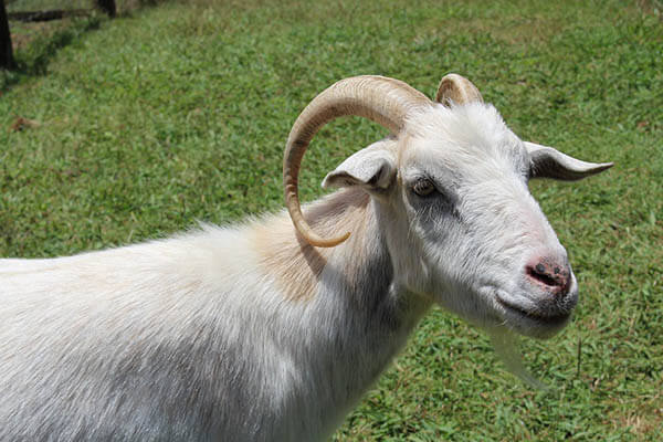 Goats lifespan