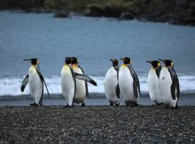 How long do penguins live?