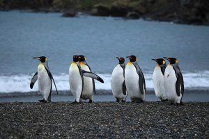 How long do penguins live?