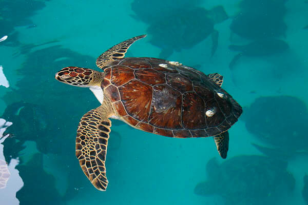 How long do sea ​​turtles live?
