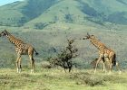 How long do giraffes live?
