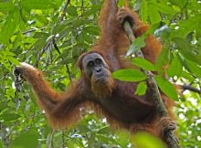 How long do orangutans live?
