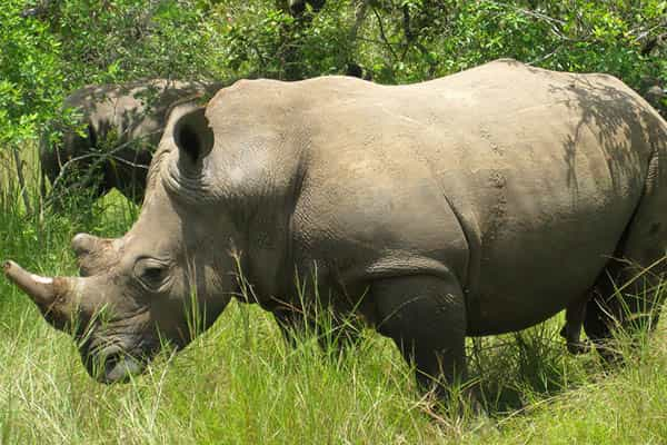 How long do rhinos live?