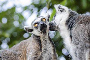 How long do lemurs live?