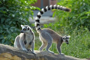 How long do lemurs live?