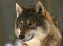 How long do wolves live?