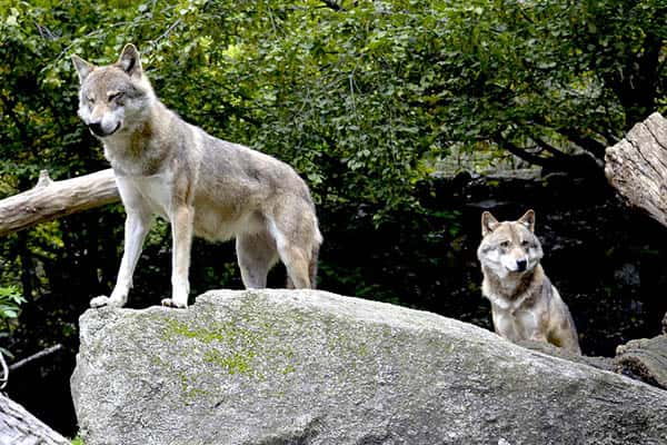 Wolves lifespan