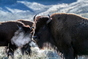 How long do American bisons live?