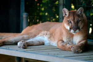 Cougars lifespan