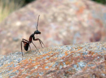 How long do ants live?
