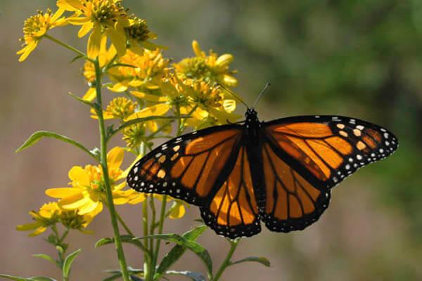 How long do butterflies live?