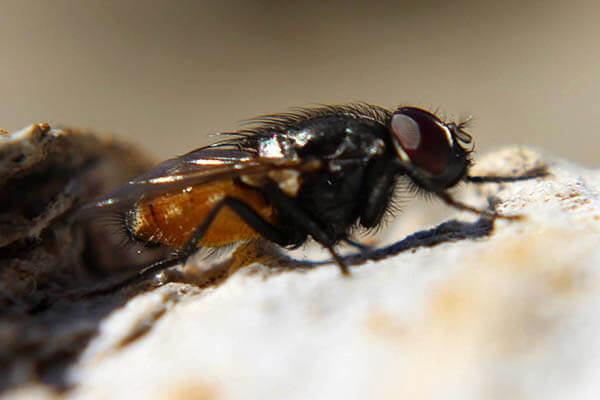 Flies lifespan