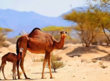 Camels lifespan