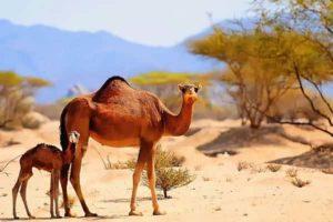 Camels lifespan