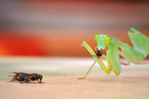 Mantises lifespan