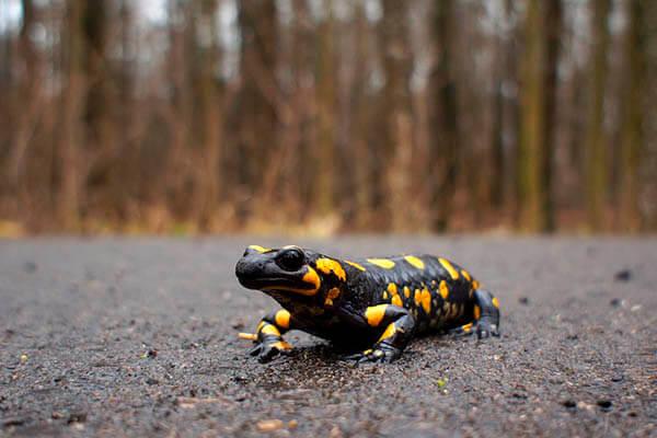 How long do salamanders live?