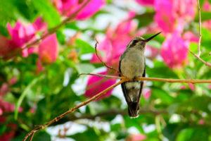 How long do hummingbirds live?