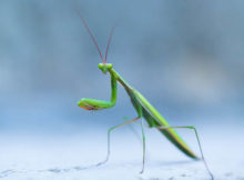 How long do mantises live?