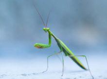 How long do mantises live?