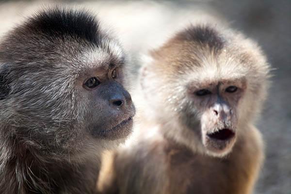 How long do monkeys live?