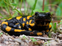How long do salamanders live?