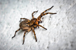 How long do spiders live?