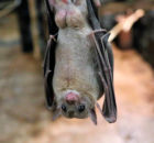 How long do bats live?