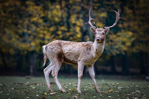 How long do deer live?