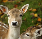 How long do deer live?