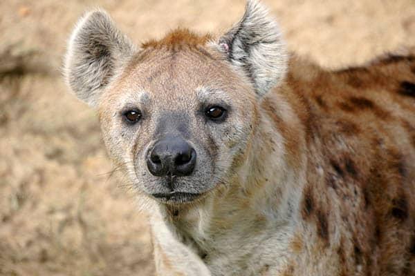 Hyenas lifespan