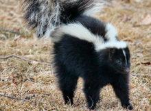 Skunks lifespan
