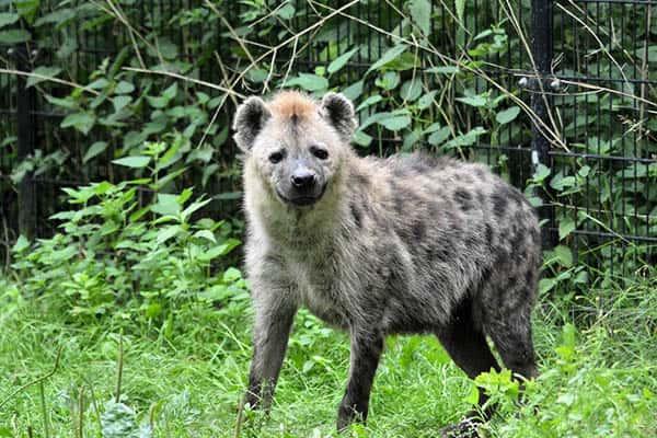 How long do hyenas live?