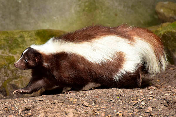 How long do skunks live?